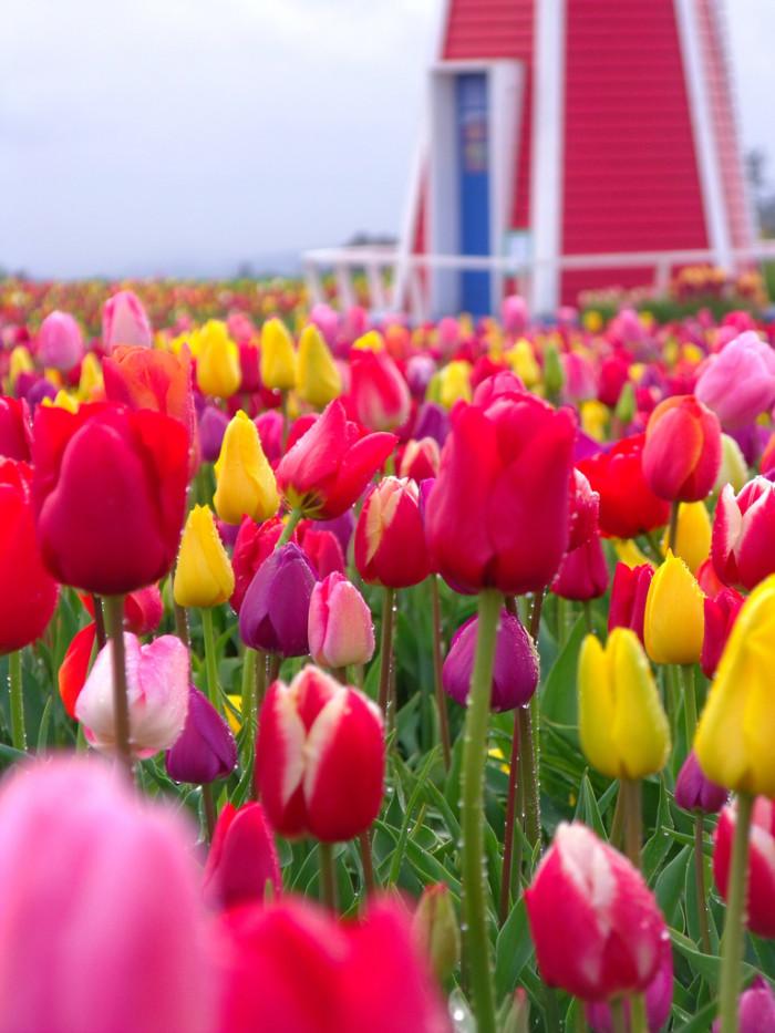 1. Wooden Shoe Tulip Farm