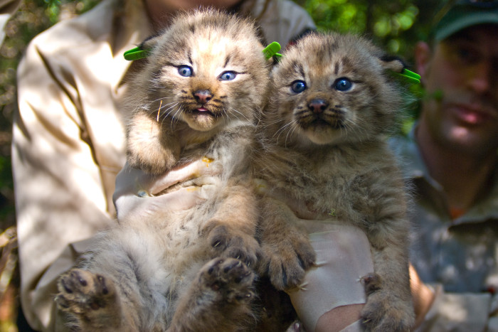 15. These Canada Lynx Kittens were rehabilitated and released into Maine's North Woods.