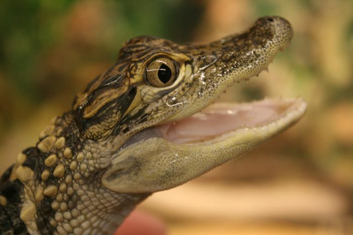 2. Alligators eat other alligators.