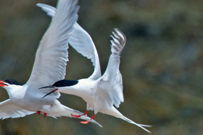 16. Here's a Roseate Tern chasing a Common Tern on Petit Manan Island.