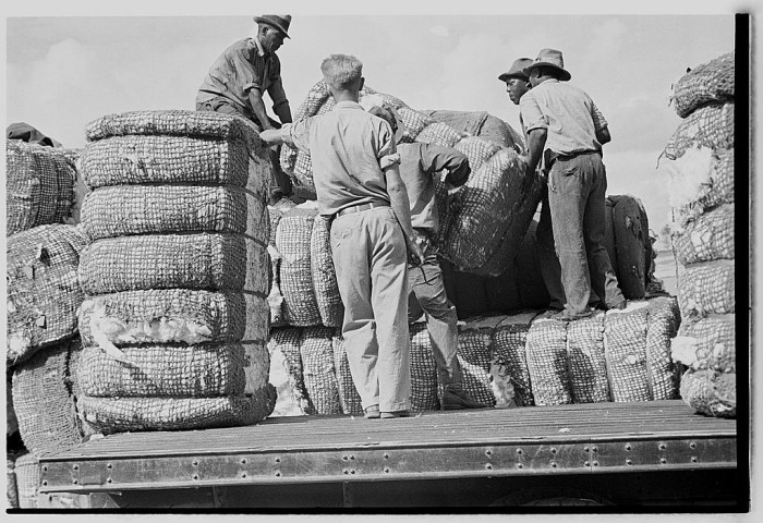 5. Men hard at work loading cotton in Natchez.