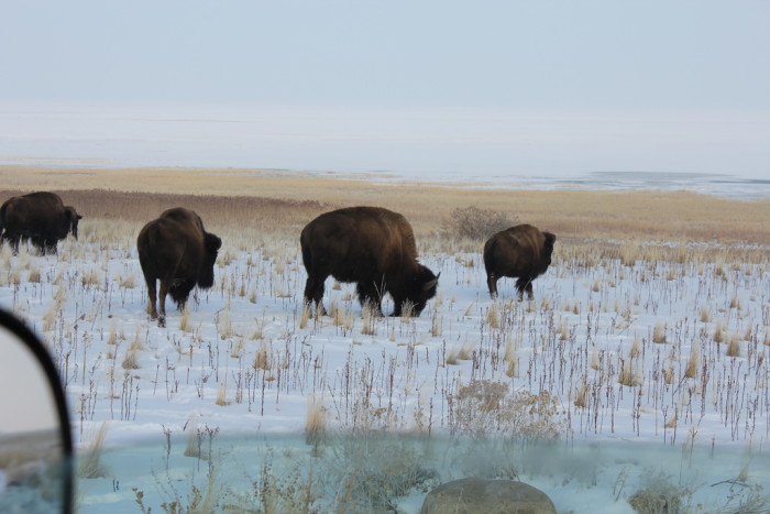 3. A Herd of Bison Living on an Island