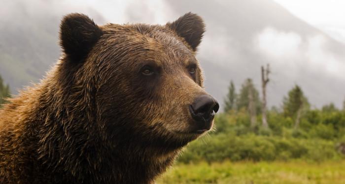 10) A regal grizzly bear.
