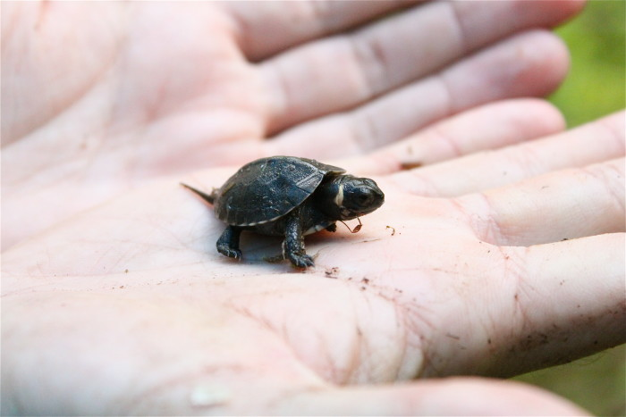 13. This is a juvenile red-bellied cooter bog turtle, which is currently on the endangered species list.