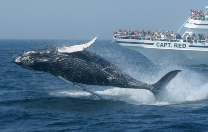 9. Sail away to watch the whales off Cape Cod.