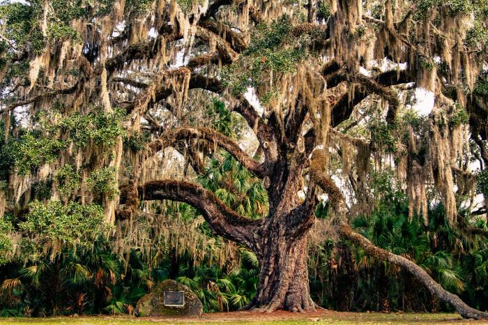 4. The Fairchild Oak