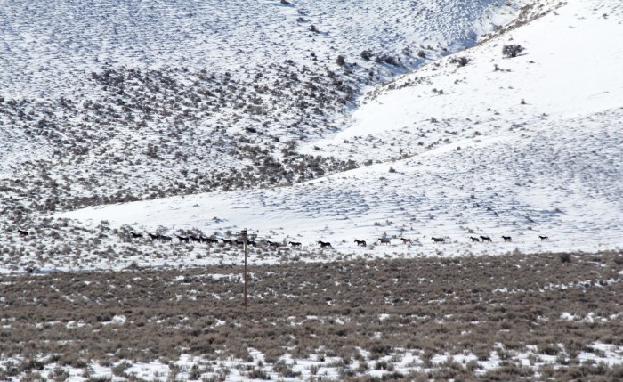 3. In this photo, taken in January 2013, wild mustangs are being gathered as they gallop in the freshly fallen snow.