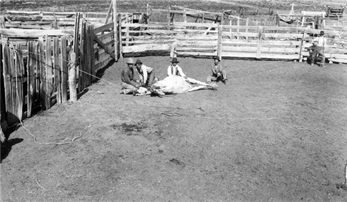 11. Clipping a bull's horns at the San Carlo Ranch in Parker.