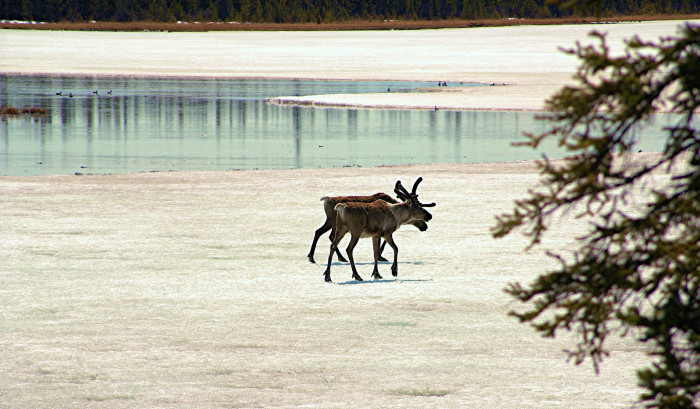 7) Caribou on thin ice.
