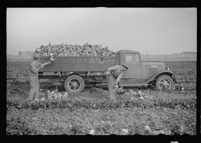 6. Farmers in Lincoln load a truck with their beet crop.