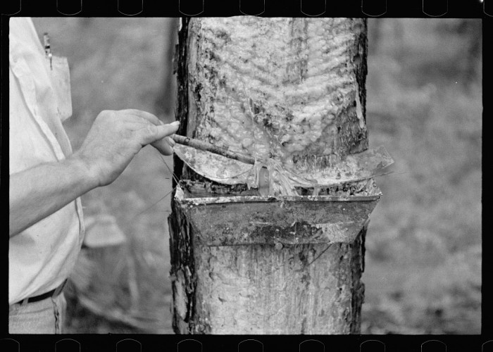 6. Trap used on pine tree for catching sap for turpentine distillation, Irwin County, Georgia- August 1935