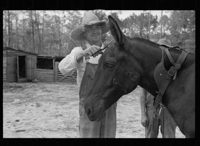 10. Resettled farmer clipping mule, Grady County, Georgia - August 1935