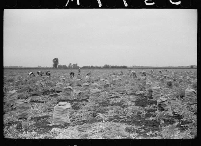 11. This is a 700-acre onion field  scattered with workers in Rice County.