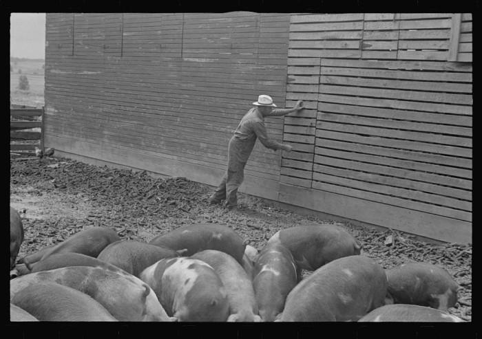 """Virgil Thaxton closing door to corn crib; corn crib and barn on farm, near Mechanicsburg, Ohio."""