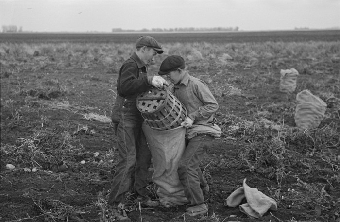 7. Everyone pitched in to get the work done in this potato field in 1937 near East Grand Forks.