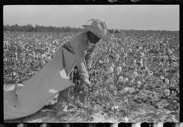 """18. """"Cotton picker in fields of Lake Dick Cooperative Association. He is paid by the day and lives in Pine Bluff, Arkansas. Rate of pay: seventy-five cents per one hundred pounds."""" (1938)"""