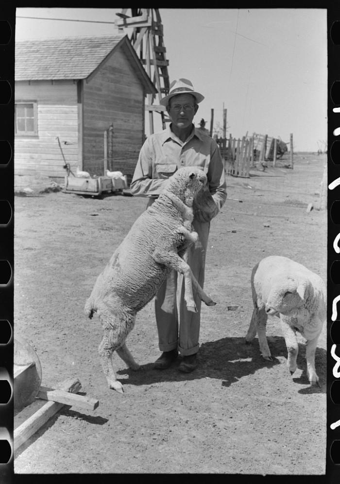 "4. ""FSA (Farm Security Administration) client feeding sheep near Hoxie, Kansas."""
