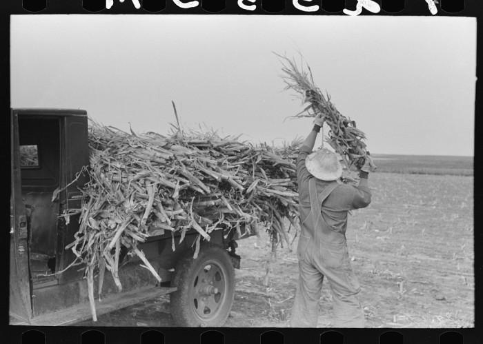 "1. ""Loading corn cut for fodder."""
