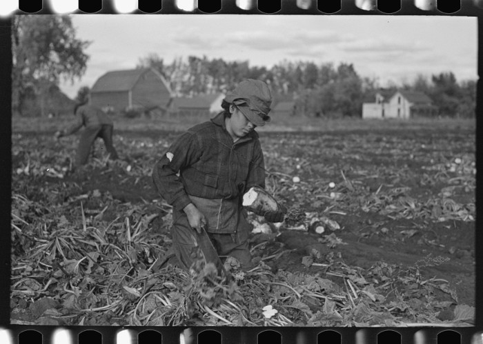 18. This young girl is topping beets near East Grand Forks in 1937.