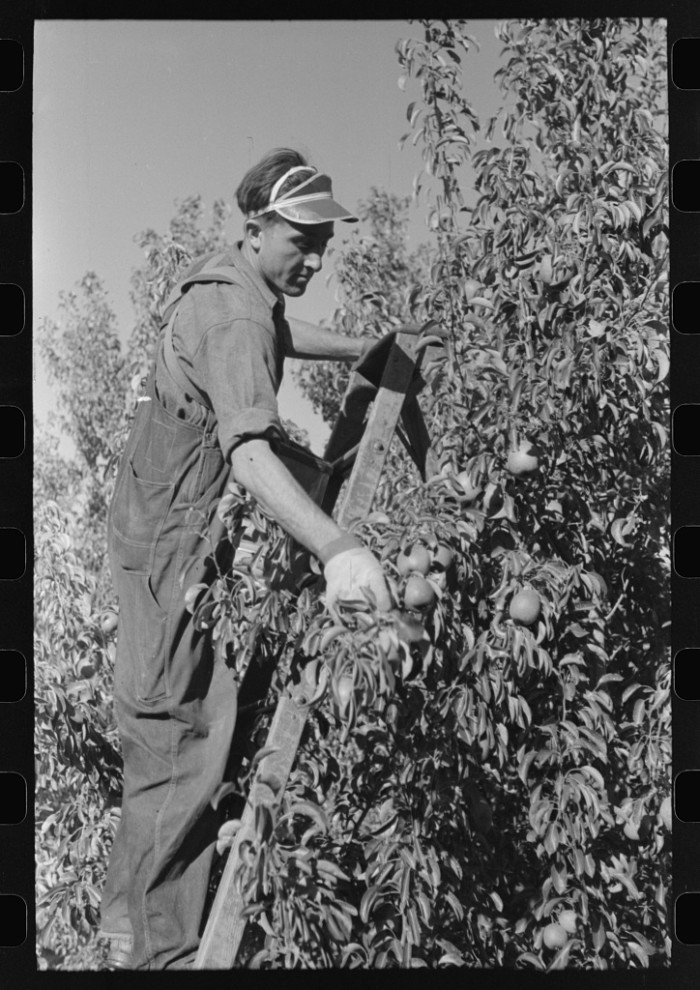 11. A man picking pears in Hood River, 1941.