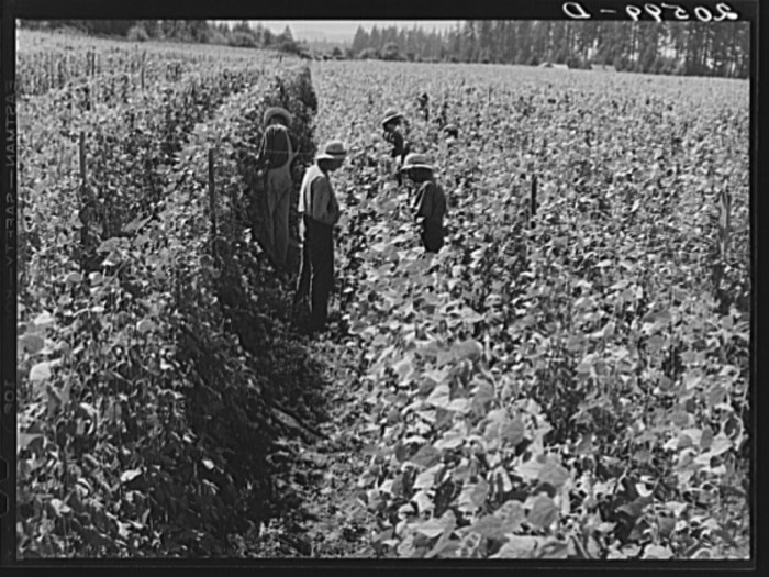3. A bean field in Marion County, 1939.