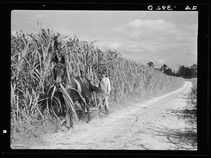 11. Cultivating sugarcane. Grady County, Georgia - August 1935