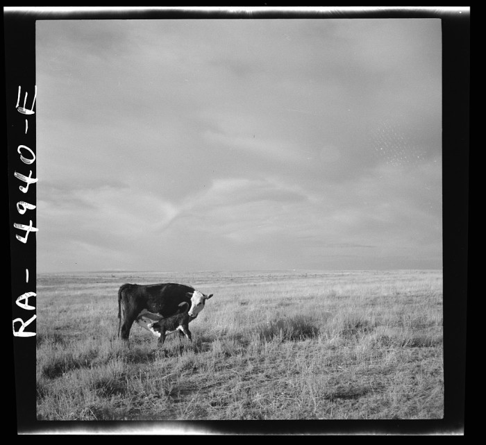 2. A cow and her calf in an open field in Madras, 1936.