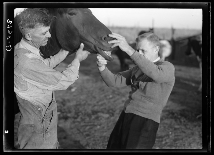 "11. ""Farm Security Administration county supervisor examining horse's teeth. Cloud County, Kansas."" (1938)"