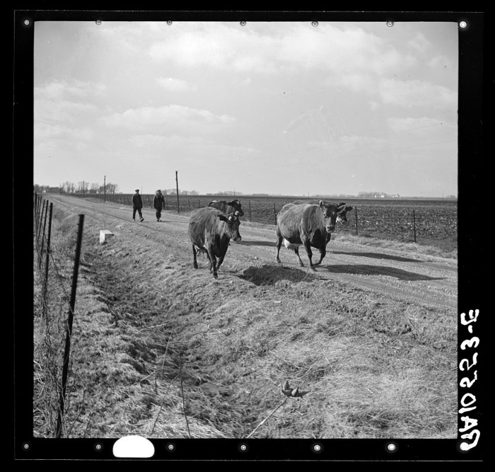 12. Here are some milking cows being transported from one farm to another near Fowler, Indiana in 1937.