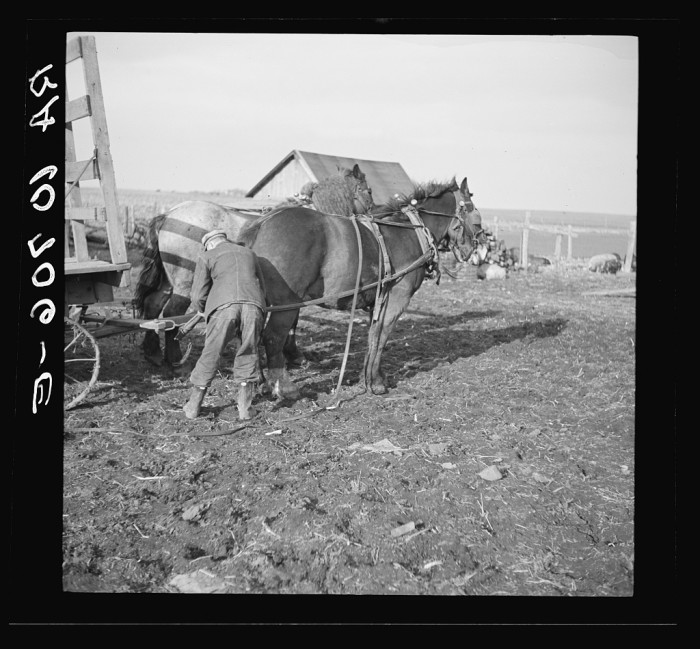 14. A man hitching a horse wagon near Fowler, Indiana in 1937.