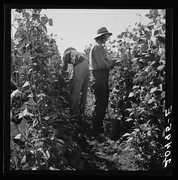 """14. """"Oregon, Marion County, near West Stayton. Migrant pickers harvesting beans. Farm people came from South Dakota"""""""