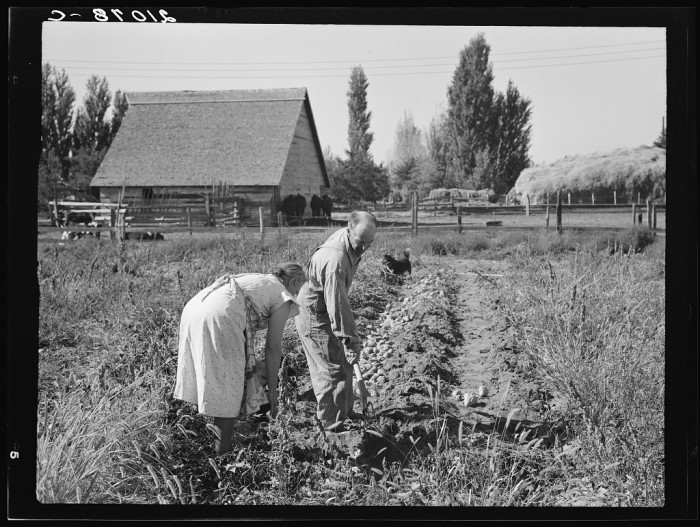 1. A couple picking sweet potatos in Morrow County, 1939.