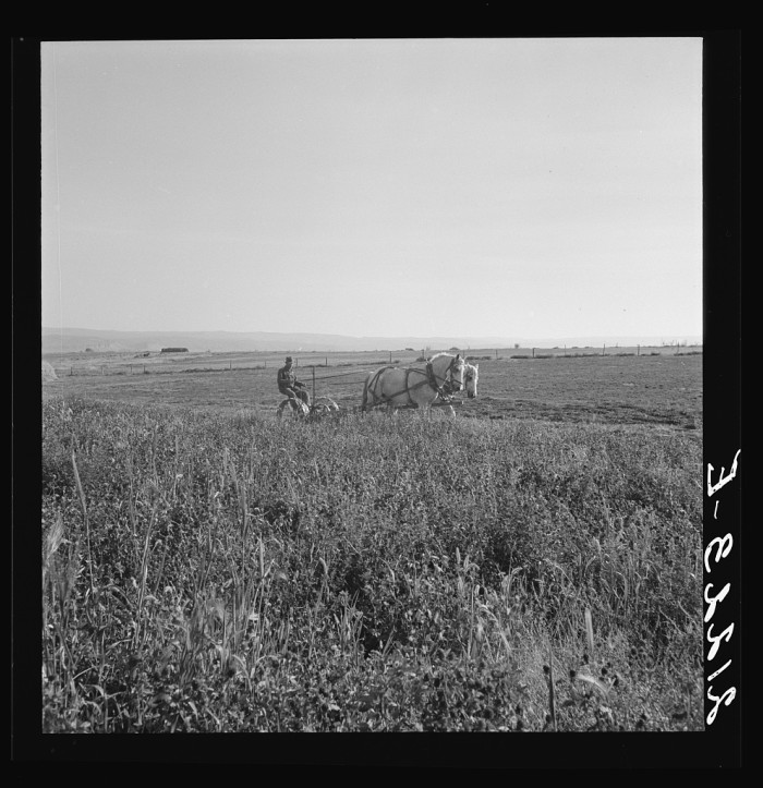 4. A man harvesting red clover in Malheur County, 1939.
