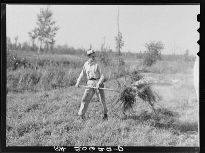 22. Clover that was too poor to harvest for seed had to be burned in 1937 near Littlefork.