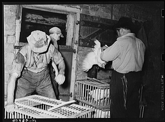 16. A poultry buyer loads chickens in Lancaster County.
