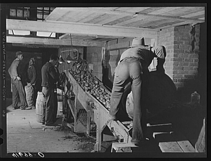 4. Dumping potatoes into the grader at the Woodman Potato Company. (Caribou,1939)