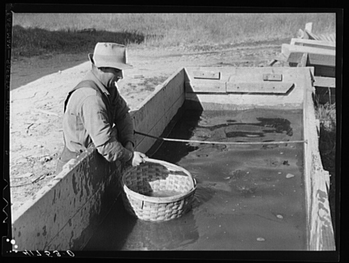 7. Baskets used for gathering potatoes are dipped in an acid bath as a preventive measure against bacterial wilt and other diseases. Woodman Potato Company Farm. (Caribou, 1940)