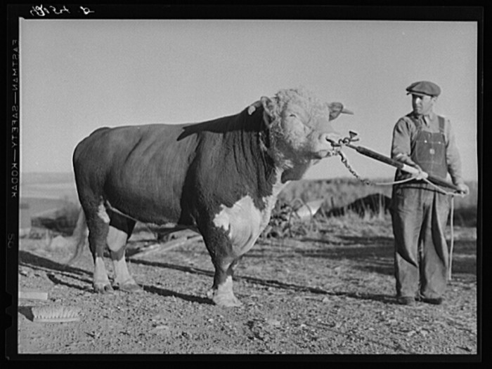 16. Prize bull owned by Robert Cunningham, Farm Security Administration client. Beef cattle was introduced to supplement potatoes as a source of income. (Washburn, 1940)