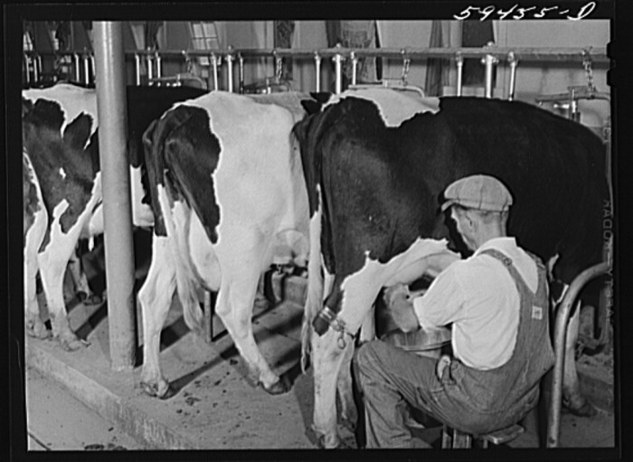 5. A farmer milks the cows, 46 in total; this dairy farm was located at a co-op in Waterloo.