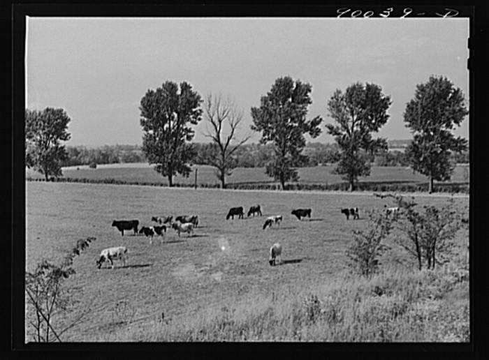 """Dairy cows in pasture on farm near Dayton, Ohio."""