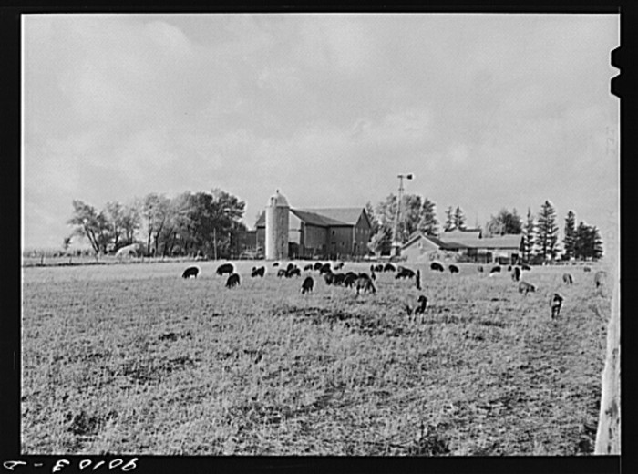 10. Pigs at a farm in Waterloo.
