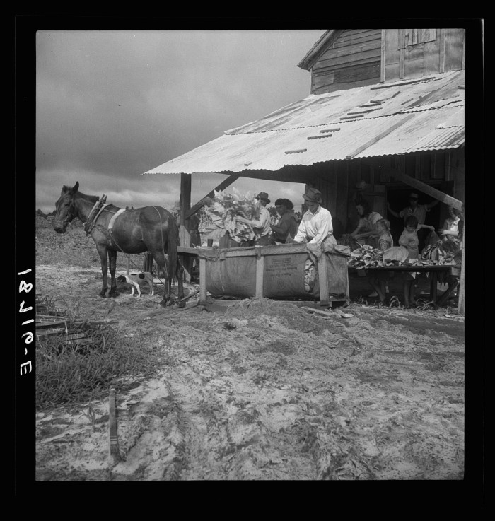 9. In this photo, a family sorts tobacco on this farm near Hartsville in 1938. They farmed 6 acres and made $900 that year, but only got to keep half.