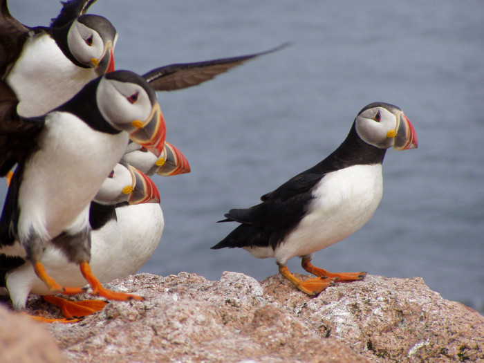 3. The Atlantic Puffin can be seen in coastal areas of Northern Maine. These guys were photographed at the Maine Coastal Islands National Wildlife Refuge.