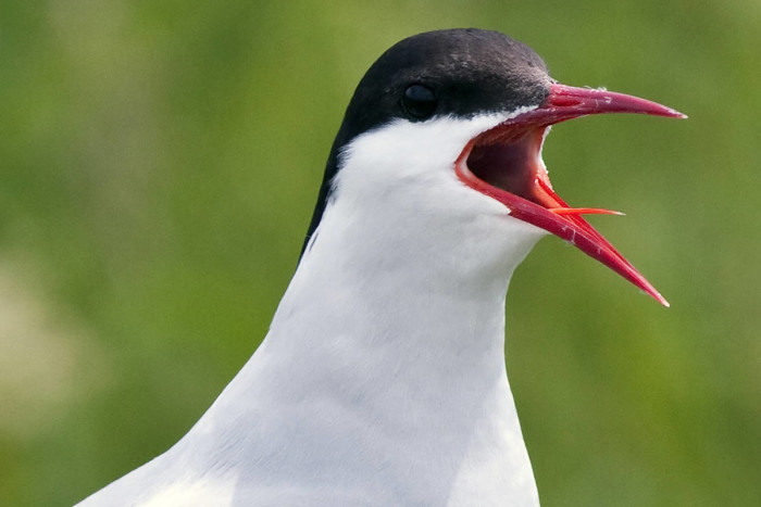 17. Perhaps this Arctic Tern wanted to be a part of the action on Petit Manan Island.