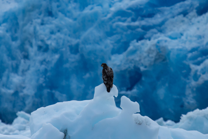 3) A juvenile bald eagle perched on an ice ledge.