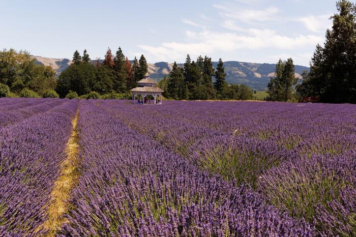 2. Pick Lavender at Hood River Lavender Farm.