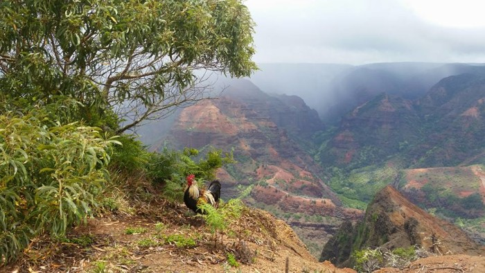 "5) A rooster overlooks Kauai's breathtaking Waimea Canyon, which is often called the ""Grand Canyon of the Pacific."""