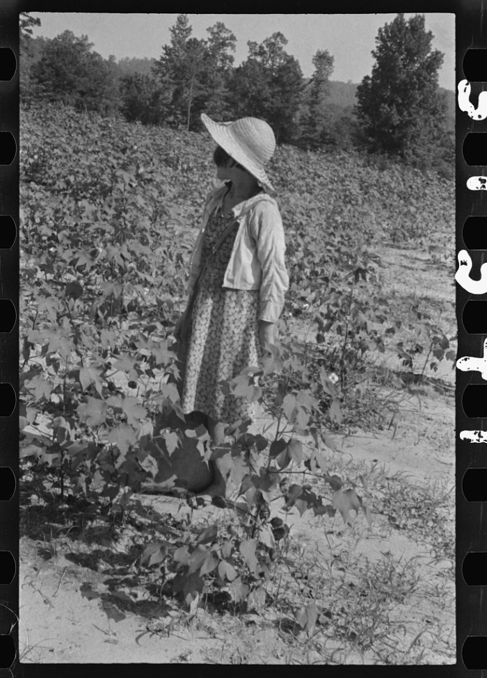 2. Lucille Burroughs in the cotton fields. (Hale County, Alabama -1936)