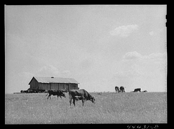 13. A herd of cattle grazing in the Black Prairie regions. The cabin in the background belongs to a sharecropper. (Hale County, Alabama - 1941)
