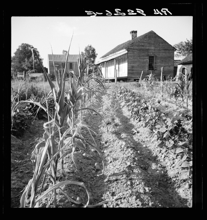 3. This farmer's corn is almost dried out. (Eutaw, Alabama - 1936)